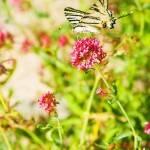 Papillon en Ardèche