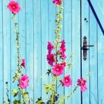 Roses trémières , port de Saint-Trojan, île d'Oléron